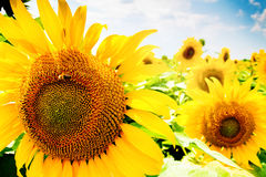Sunflowers field and blue sky Stock Photo