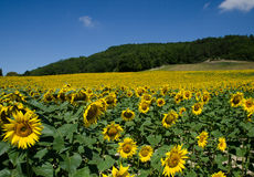 Sunflowers. Field of sunflowers with blue sky Royalty Free Stock Photo