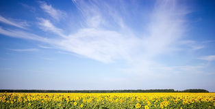 Sunflowers field on a blue sky background. Stock Images