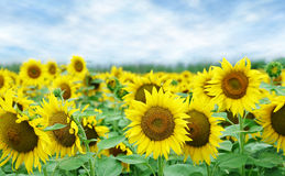 Sunflowers. Field of sunflowers with blue sky closeup Royalty Free Stock Photography