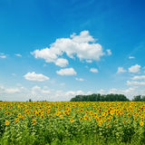 Sunflowers field and blue sky Stock Photos