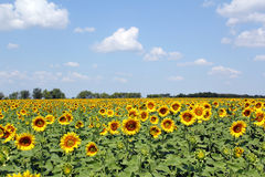 Sunflowers field and blue sky Royalty Free Stock Image