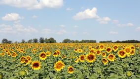 Sunflowers field and blue sky stock footage