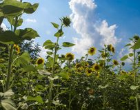 Sunflowers field and a blue sky Royalty Free Stock Images