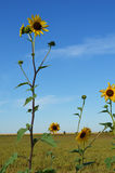 Sunflowers in a field with blue sky. Sunflowers in a field under the bright blue sky royalty free stock image
