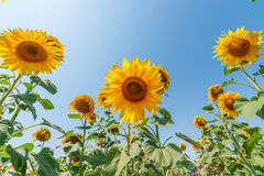 Sunflowers on field Royalty Free Stock Photography