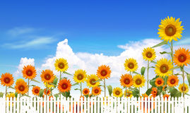 sunflowers in the field with bright blue sky Stock Images
