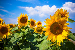 Sunflowers Field. Bright Blue Sky Stock Photos