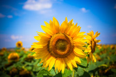Sunflowers Field. Bright Blue Sky Royalty Free Stock Image