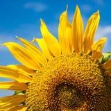 Sunflowers Field. Bright Blue Sky Stock Photography