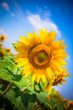 Sunflowers Field. Bright Blue Sky Stock Photo