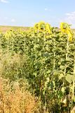 Sunflowers in the field in the bright sun. Bright sunflowers in the field under the soaring sun stock images