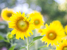 Sunflowers field and bright sun (sunflower, field, yellow) Stock Image