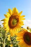 Sunflowers 11. Sunflowers in the field in the bright sun royalty free stock image