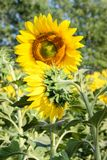 Yellow sunflowers. Sunflowers in the field in the bright sun royalty free stock images