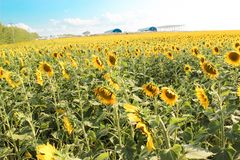 Sunflowers in the field in the bright sun. Yellow sunflowers under the soaring sun in the field royalty free stock image
