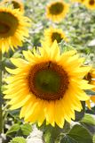 Sunflowers in the field in the bright sun. Yellow sunflowers under the soaring sun in the field stock images