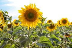 Sunflowers in the field in the bright sun. Yellow sunflowers under the soaring sun in the field royalty free stock images