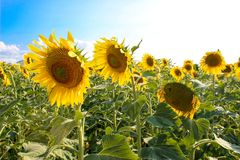 Sunflowers in the field. Bright sunflowers in the field under the bright sun in August stock image