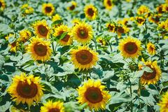 Sunflowers Field in Bulgaria Stock Images