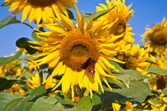 Sunflowers in the field Royalty Free Stock Images