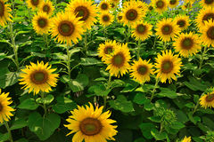 Sunflowers field. In the center of Thailand Royalty Free Stock Image