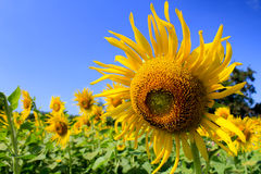 The sunflowers field Stock Photography