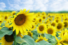 Sunflowers in field Stock Images