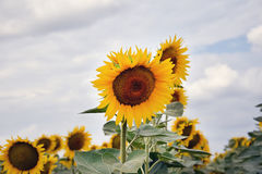 Sunflowers field Stock Photography