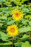 Sunflowers in the field Royalty Free Stock Photos
