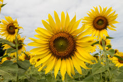 Sunflowers field. Closeup of sunflowers with cloudy sky in the background Stock Photography