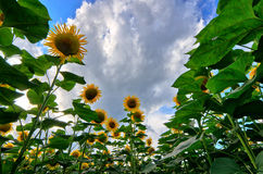 Sunflowers field Stock Photo