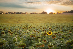 Sunflowers field with clouds at sunset royalty free stock images