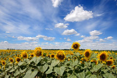 The sunflowers field and clouds Royalty Free Stock Image