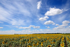 The sunflowers field and clouds Royalty Free Stock Photo