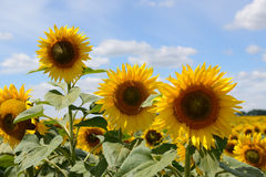 The sunflowers field and clouds Royalty Free Stock Photography