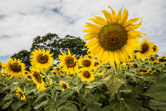 Sunflowers field. With cloudy sky Stock Images