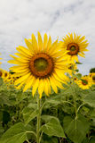 Sunflowers field. With cloudy sky Stock Image