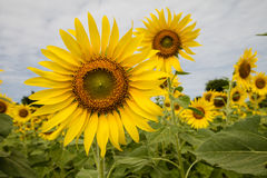 Sunflowers field. With cloudy sky Royalty Free Stock Image