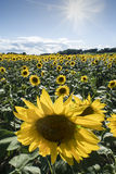 Sunflowers. A field cultivated with sunflowers Royalty Free Stock Photos