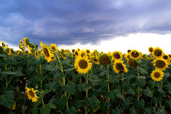 Sunflowers in a field and dark clouds.  Dark sky. Stock Image