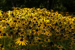 Sunflowers field. Detail of autumn sunflower close up Royalty Free Stock Photography