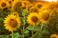 Sunflowers on the field Stock Photography