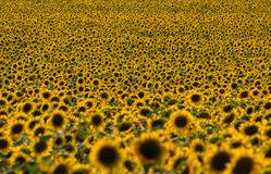 Sunflowers field (with DOF effect) Royalty Free Stock Images