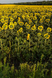 Sunflowers field in the evening. At the end Royalty Free Stock Photography