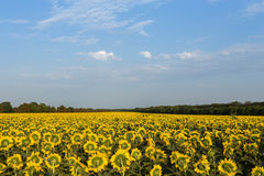 Sunflowers field in the evening. Among the tree's line Stock Photos