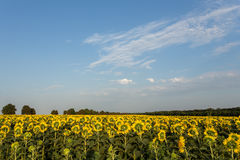 Sunflowers field in the evening. Wide angle Stock Image