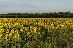 Sunflowers field in the evening. Wide angle Royalty Free Stock Image