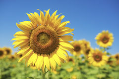 Sunflowers field. Stock Photos