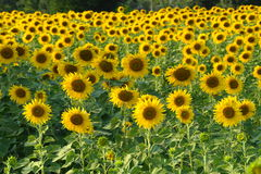 Sunflowers field . Stock Photos